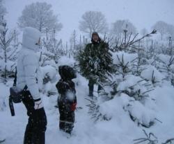 julgransyra-i-norregardens-julgransodling
